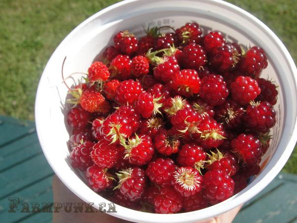 Container of wild forest berries. Via Farmpunk.ca